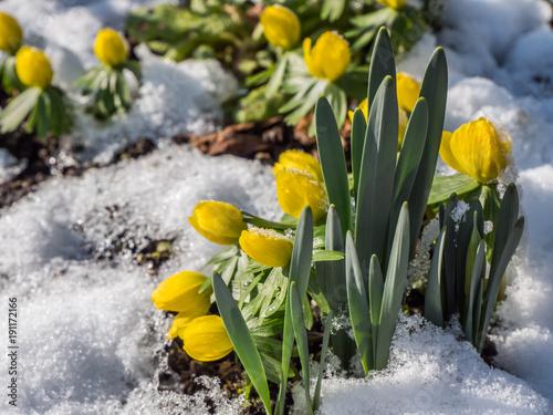 Winterling - Winter Aconite