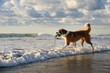 Saint Bernard dog outdoor portrait walking out into ocean waves with bumper toy