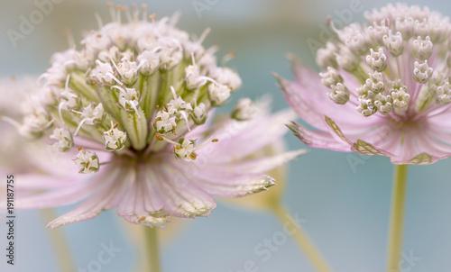 jarzmianka-wieksza,-kwiaty