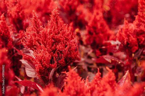 Close up shot of Red celosia - celosia arrabona - celosia cristata or cockscomb flower - 191188982