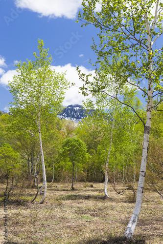Foto op Canvas Pistache 新緑の白樺林(縦)
