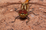 Beautiful dragonfly with transparent wings is sitting on a sand. - 191195560