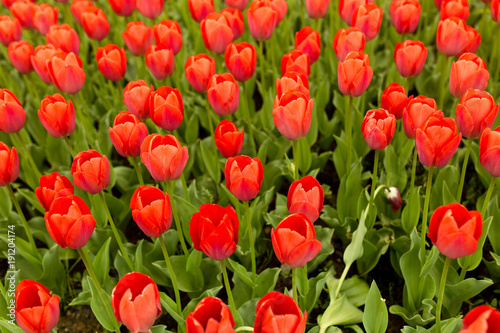 Aluminium Tulpen Beautiful red tulips in a park in the nature