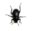 black beetle on white