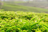 Closeup view of amazing young bright green tea leaves - 191216193