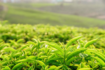 Closeup view of amazing young bright green tea leaves