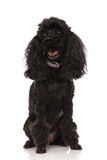 happy black poodle i...