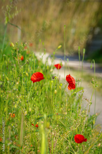 Red poppies.