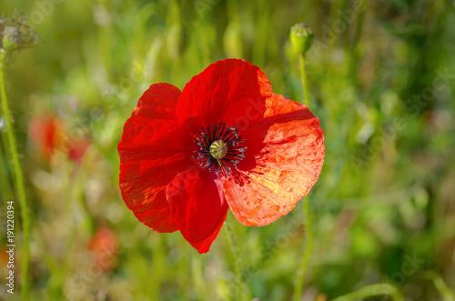 Foto op Plexiglas Klaprozen Red poppies.
