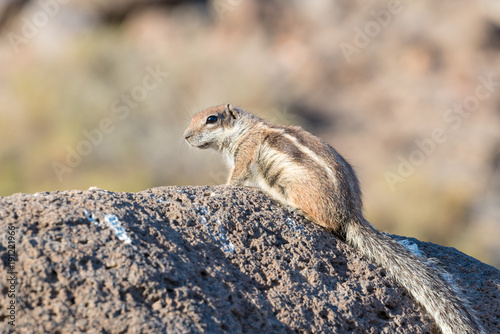 In de dag Canarische Eilanden Barbary Ground Squirrel Atlantoxerus getulus on Fuerteventura, Canary Islands Spain