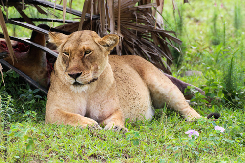 Fotobehang Lion Löwe nach dem Fressen in Uganda Afrika Wildpark