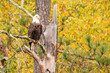 Eagle in tree with fall colors