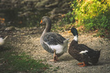 couple of ducks at farm summer day - 191249546