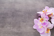 Pink orchid flower on a gray textured background, space for a text.