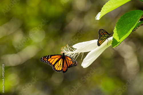 Fotobehang Vlinder Monarch Butterflies on White Flower