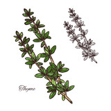 Thyme spice herb sketch of green branch with leaf - 191270100