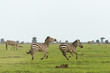 two zebras running on the grasslands of the Maasai Mara, Kenya