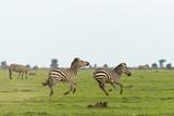 two zebras running on the grasslands of the Maasai Mara, Kenya