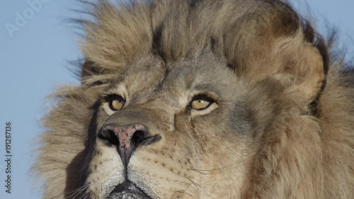 Lion male looking up at the sky slow motion wind