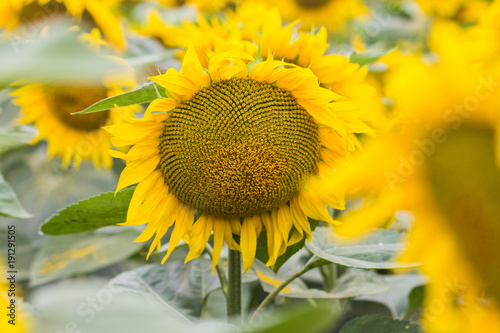 Foto op Canvas Oranje Beautiful sunflower field