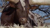 Watusi close up portrait of animal in front of blue sky slow motion - 191292352