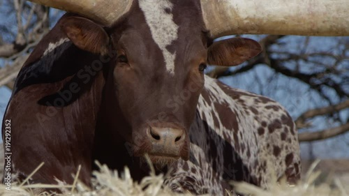 Watusi close up portrait of animal in front of blue sky slow motion