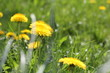 Yellow dandelion flowers in green grass - 191294390