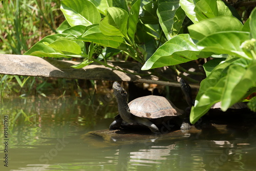 Fotobehang Schildpad Sumpfschildkröten in Sri Lanka