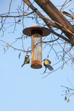 great tits on bird feeder on tree winter time - 191313954