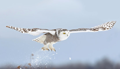 Snowy owl (Bubo scandiacus) takes flight hunting over a snowy field in Ottawa, Canada