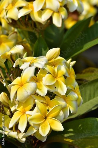 Fotobehang Plumeria Colorful flowers in nature.Plumeria Flower. white flower.white flower or white flower background.Colorful flowers