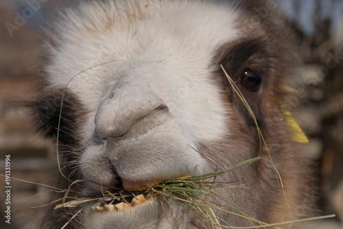 Aluminium Kameel the muzzle of a Bactrian camel