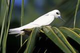 Gygis blanche, nid, .Gygis alba, White Tern, Seychelles - 191334188