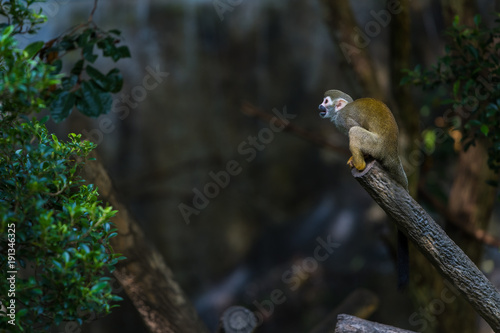 Foto op Aluminium Natuur Squirrel monkeys are New World monkeys of the genus Saimiri. They are the only genus in the subfamily Saimirinae.