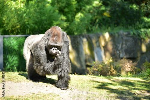 Foto Murales Gorilla Affe