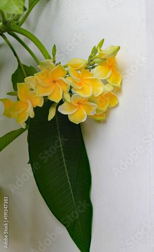 Fotobehang Plumeria Gelbe Frangipani Blüten in Thailand