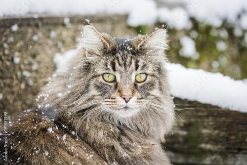 chat norvégiens, des forets norvégiennes sous la neige Poster