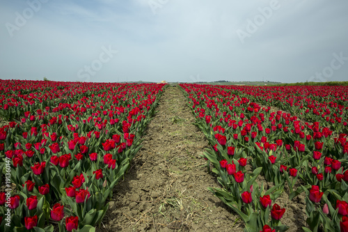 Fotobehang Tulpen Tulip field, Tulip flower background Silivri,Istanbul Turkey