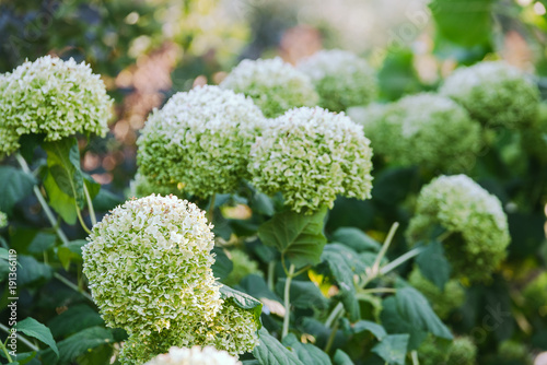 Fotobehang Hydrangea inflorescences of white and green hydrangea closeup outdoor