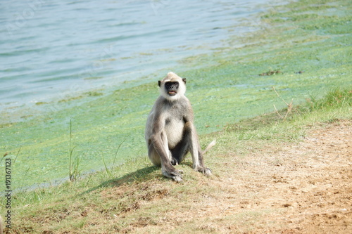 Foto Murales Monkey - Yala National Park , Sri Lanka