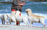 four yellow labradors playing at the sea - 191372750