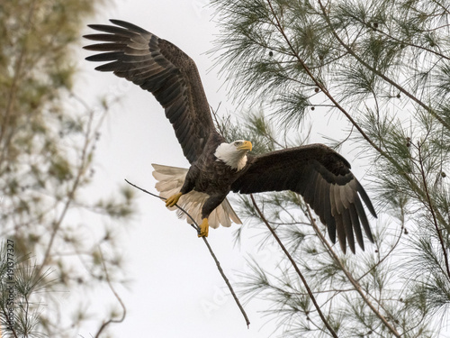 Fotobehang Eagle Bald Eagle Flying with Nesting Material