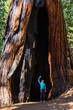 Young caucasian woman in winter clothing poses among giant sequoia trees