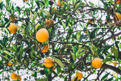 Orange tree with oranges seen from below