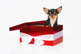 Short-haired tricolor Chihuahua dog posing indoors in a big red gift box on a white background