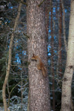 Squirrel on tree cone in mouth at winter day - 191424704