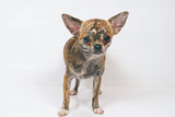 Short-haired brindle Chihuahua dog staying indoors on a white background