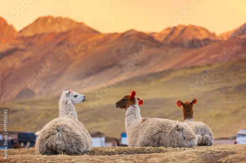 Fotobehang Galyna A. Llama