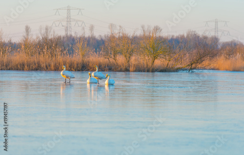 Aluminium Zwaan Swans on a frozen lake at sunrise in winter