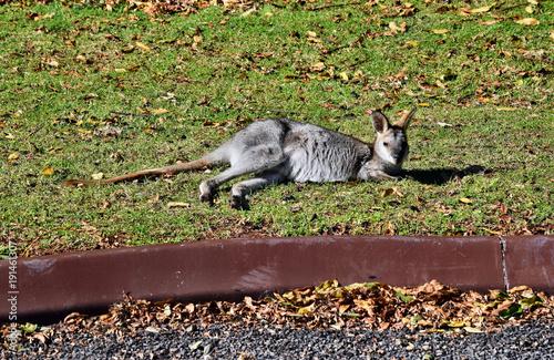 Fotobehang Kangoeroe Young cute wild grey kangaroo